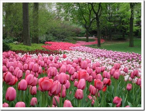 pink tulip garden