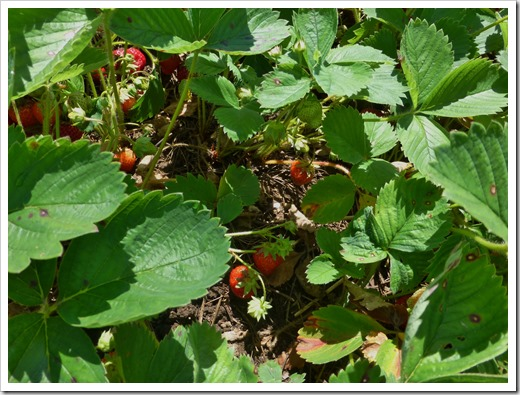 Loads of Ledyard Strawberries