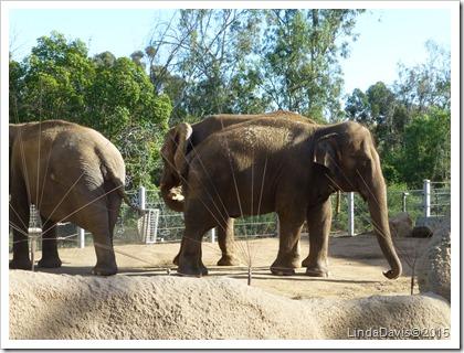San Diego Zoo Elephant 2