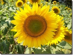 Buttonwoods Sunflowers 2008 009 (Small)